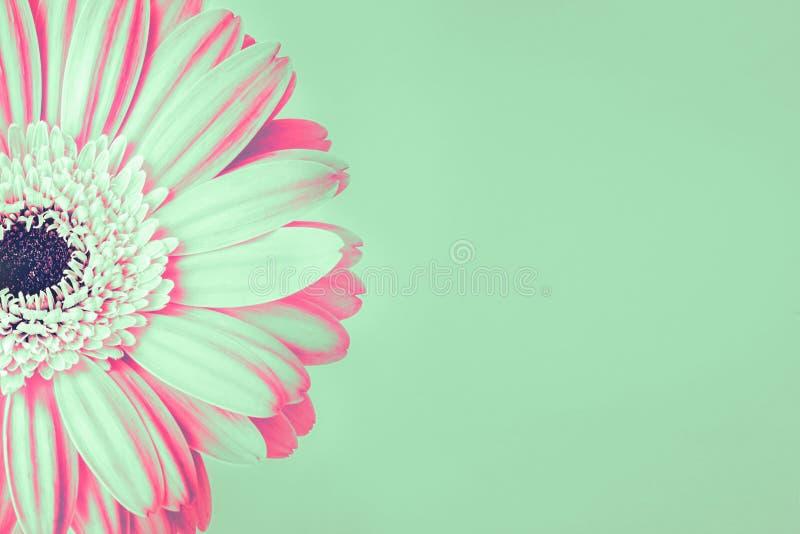 Zbliżenie mennica i miękkich części menchie barwił stokrotka kwiatu na zielonym tle fotografia stock