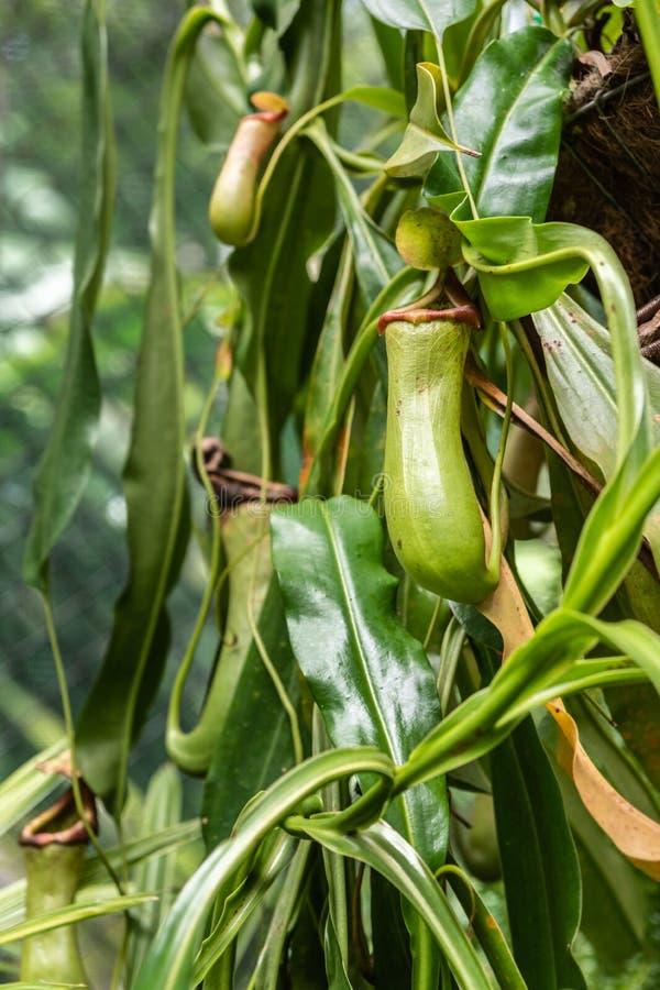 Zbliżenie miotacz roślina w ogródzie botanicznym kopowie, Australia zdjęcie stock