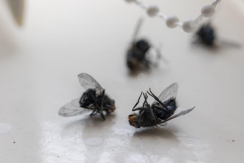 Zbliżenie muchy domowej Owady zabite przez rozpylanie obraz royalty free