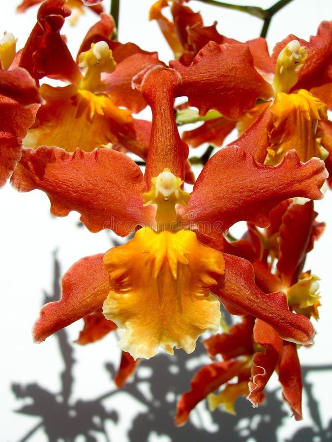 Zbliżenie na czerwonej orchidei fotografia royalty free