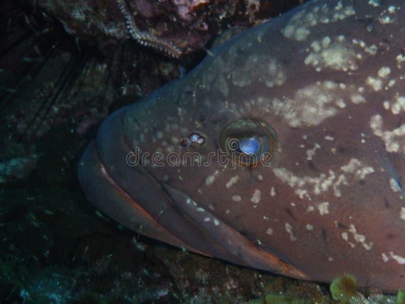 Zbliżenie na dużym grouper obraz royalty free