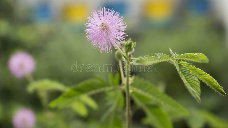 Zbliżenie na perfect kwiacie wyczulonej rośliny mimoz pudica, śpiąca roślina, dotyka ja nie fotografia stock