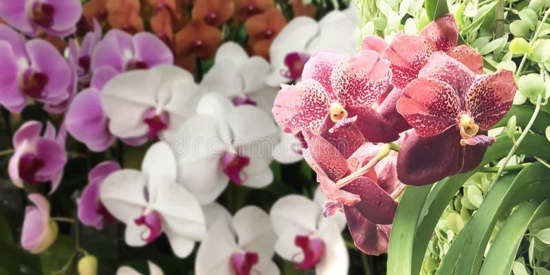 Zbliżenie na Pięknej Czerwonej orchidei kwitnie na lecie obraz royalty free