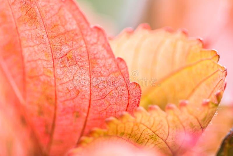 Zbliżenie natury widok Czerwona liść tekstura na zamazanym tle zdjęcie royalty free