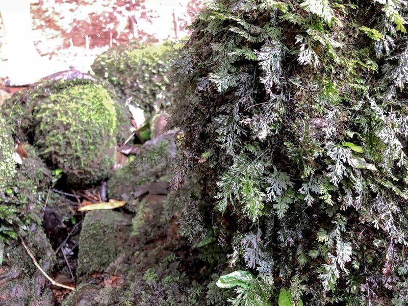 Zbliżenie natury widok zielony paprociowy liść na mechatym kamieniu z greenery tłem przy lasem fotografia stock