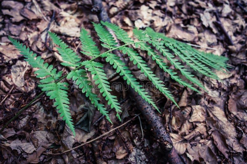 Zbliżenie nonflowering naczyniastej rośliny paproć reprodukuje zarodnikami obrazy stock