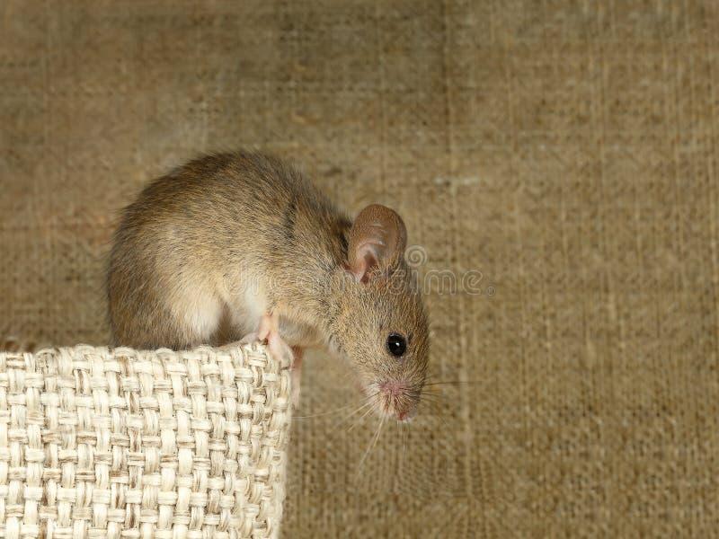Zbliżenie nornicy mysz siedzi na górze bieliźnianej torby i spojrzenia zestrzelają na tle kanwa Inside storehouse obraz royalty free