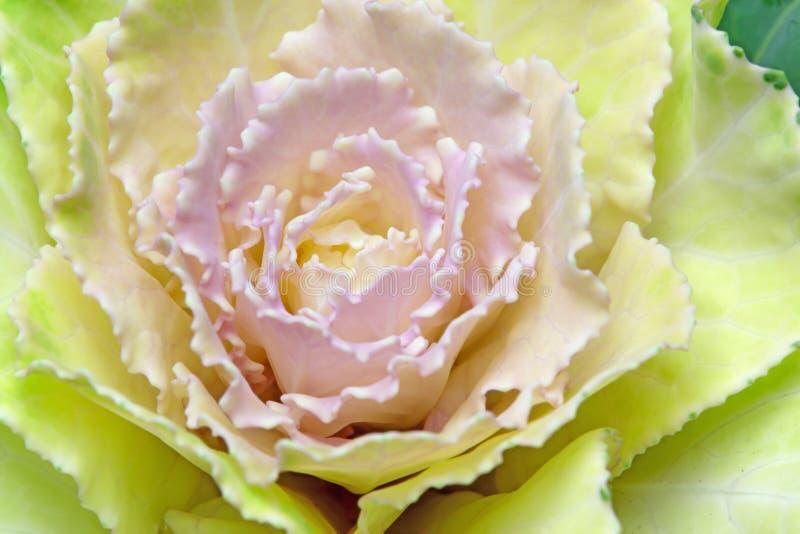 Zbliżenie obrazek Kale fotografia royalty free
