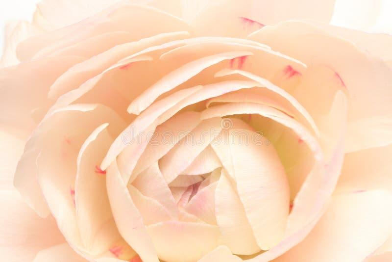 Zbliżenie obrazek Perski jaskier zdjęcie stock