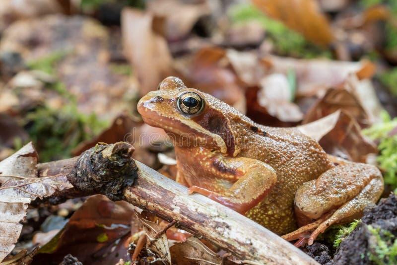 Zbliżenie obrotna żaba - rana dalmatina fotografia royalty free