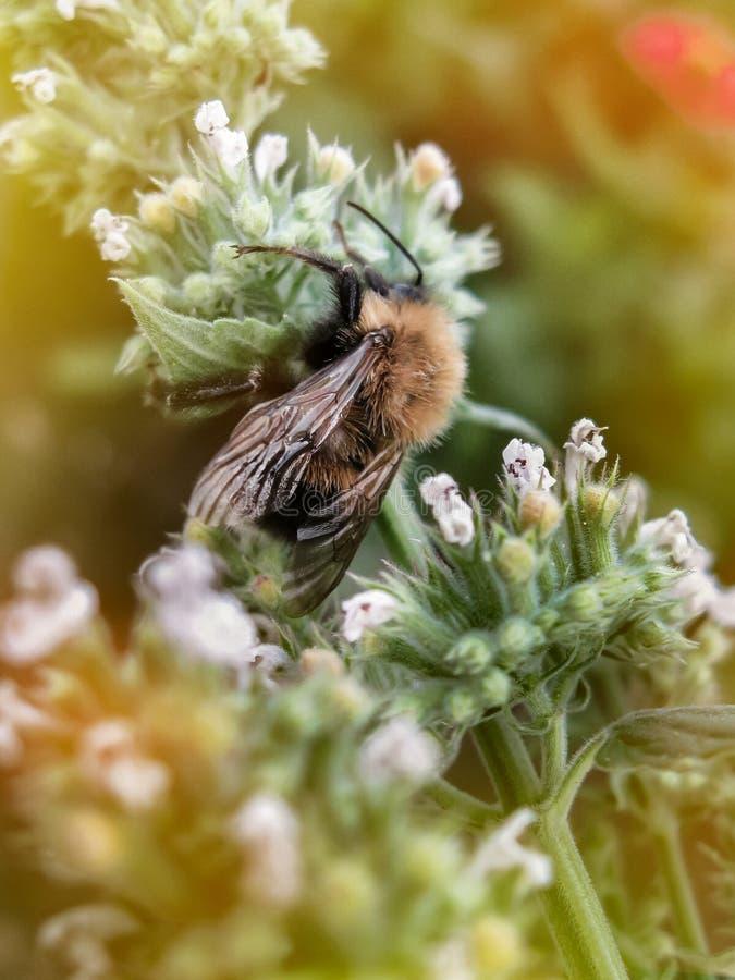 Zbli?enie ogrodowy bumblebee lub ma?y ogrodowy bumblebee, Bombus hortorum zbieracki nektar od melissa kwitnie zdjęcie royalty free