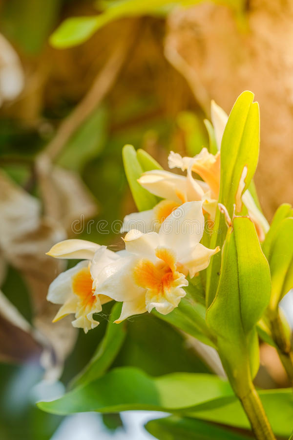 Zbliżenie orchidei kwiaty piękna storczykowy żółty obrazy stock