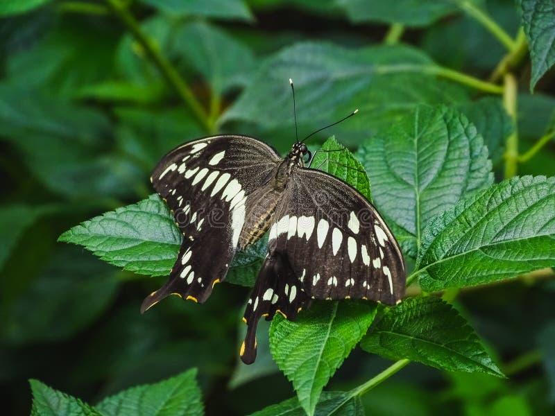 Zbliżenie papilio constantinus motyl na liściu zdjęcia stock