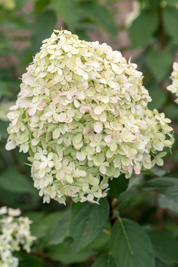 Zbliżenie piękna biała hortensja w ogródzie zdjęcia stock