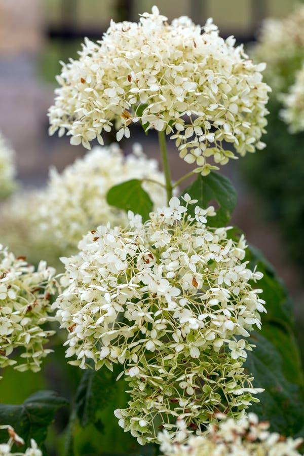 Zbliżenie piękna biała hortensja w ogródzie obraz royalty free