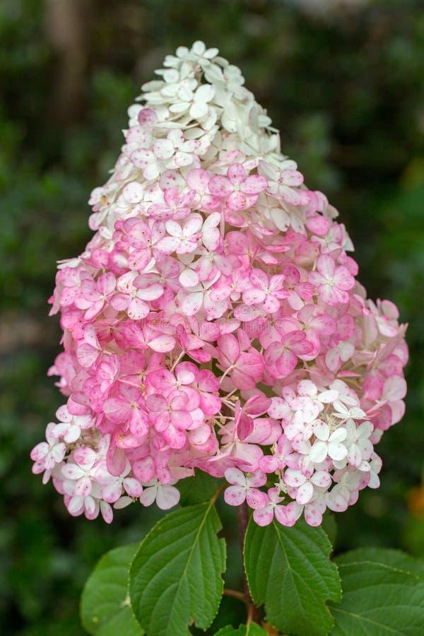 Zbliżenie piękna biała i różowa hortensja w ogródzie obrazy stock