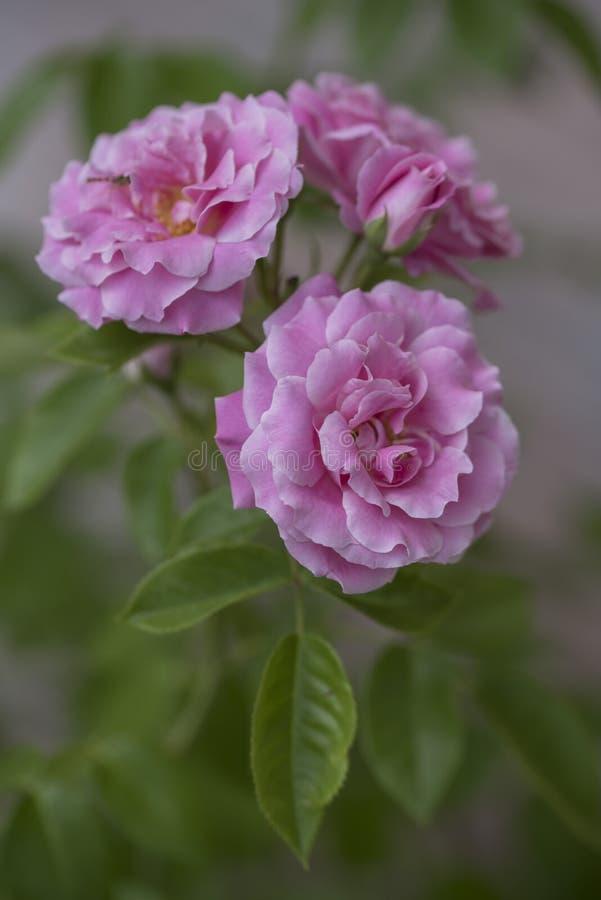 Zbliżenie piękna miękka część skupiająca się menchii róża kwitnie na zamazanym tle obrazy stock