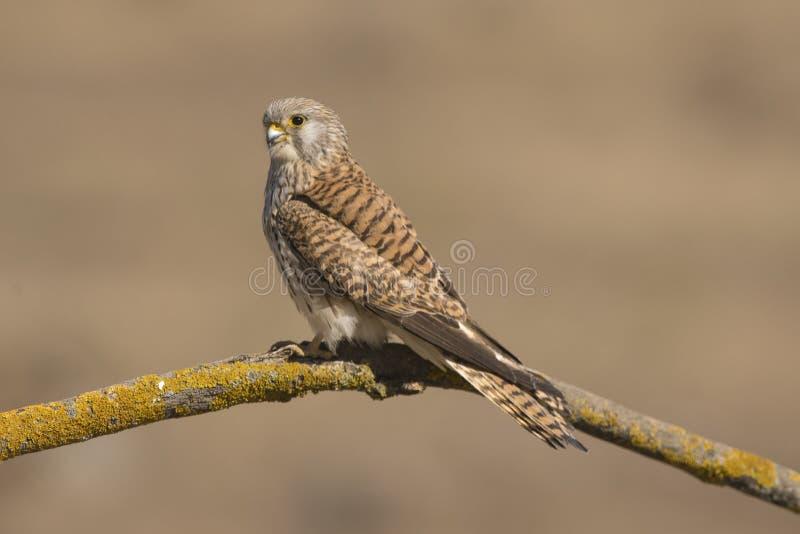Zbliżenie pięknej samicy Lesser Kestrel Falco naumanni obrazy royalty free
