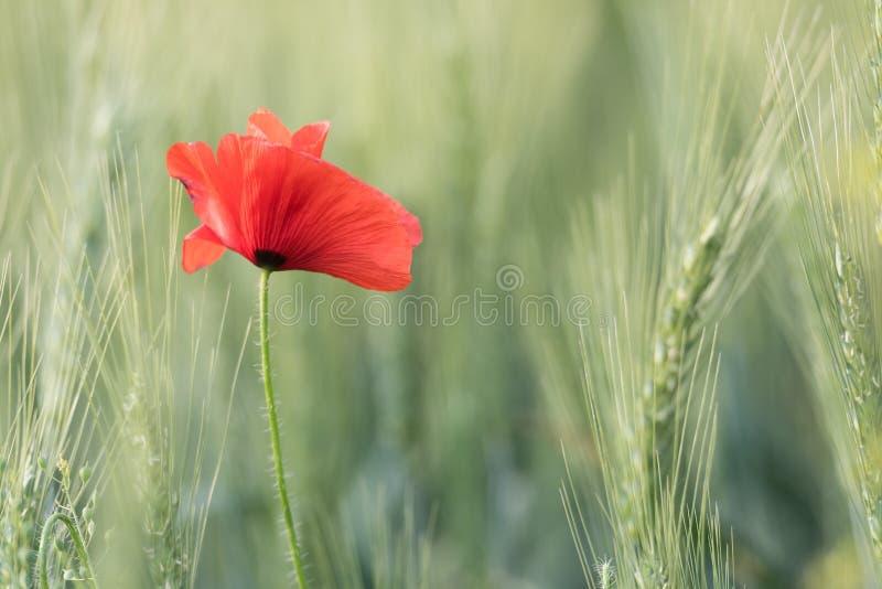 Zbliżenie piękny czerwony maczek w pszenicznym zieleni polu w lecie zdjęcia stock