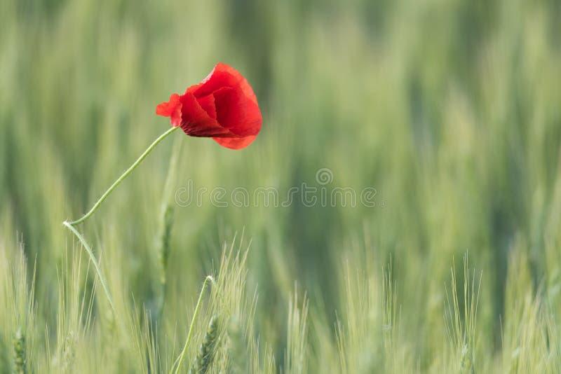 Zbliżenie piękny czerwony maczek w pszenicznym zieleni polu w lecie fotografia stock