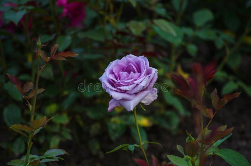 Zbliżenie piękny fiołek wzrastał na krzaku z ciemnozielonymi liśćmi obrazy stock