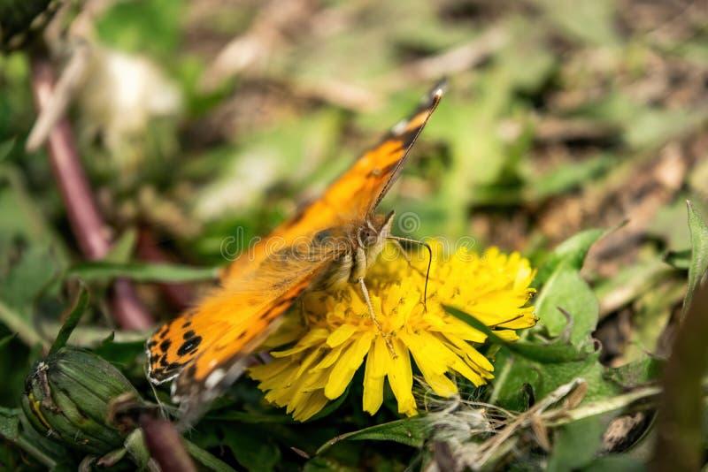 Zbliżenie piękny motyl z pomarańcze & czernią uskrzydla, siedzący na żółtym kwitnącym dandelion wśród bujny zieleni obrazy royalty free