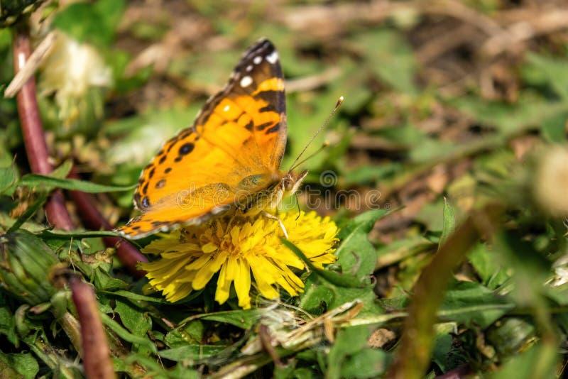 Zbliżenie piękny motyl z pomarańcze & czernią uskrzydla, siedzący na żółtym kwitnącym dandelion wśród bujny zieleni obraz royalty free