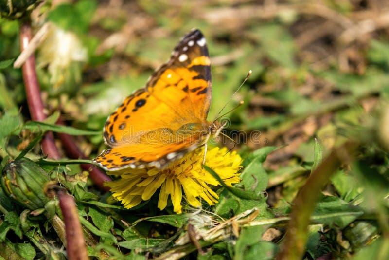 Zbliżenie piękny motyl z pomarańcze & czernią uskrzydla, siedzący na żółtym kwitnącym dandelion wśród bujny zieleni obraz stock