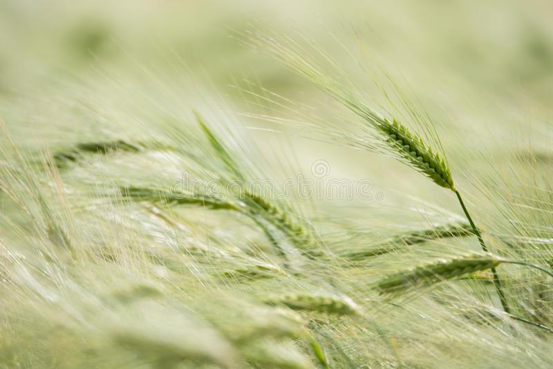 Zbliżenie piękny pszeniczny ucho w zielonym polu w lecie fotografia stock