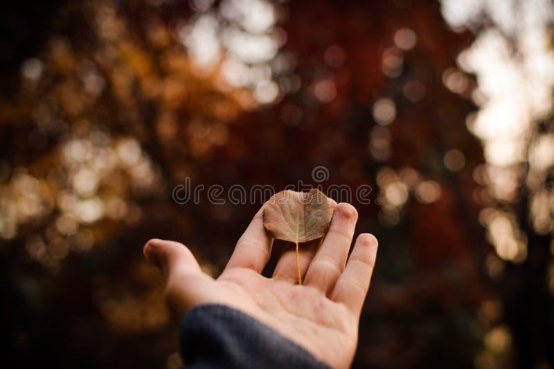 Zbliżenie piękny więdnący liść na osoby palmie strzelał z selekcyjną ostrością zdjęcia stock