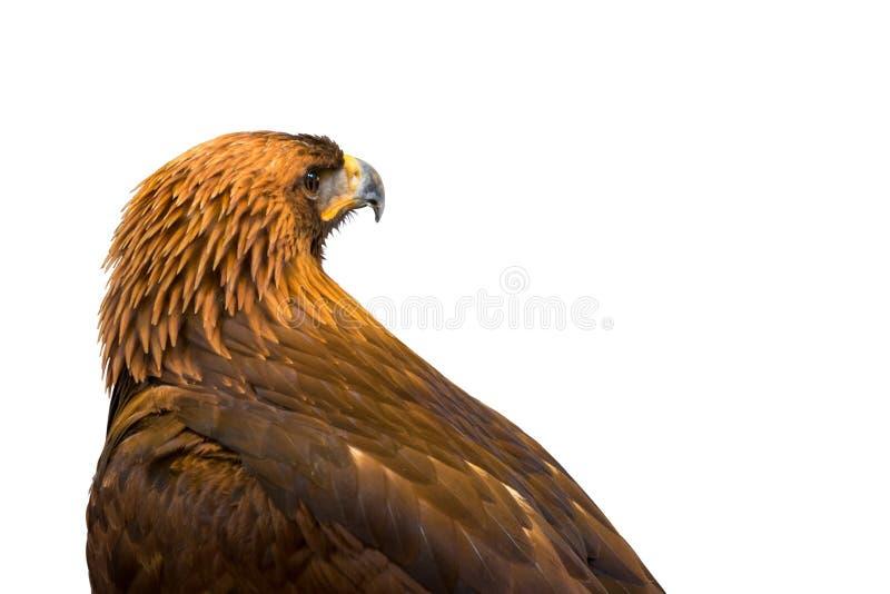 Zbliżenie piękny Złoty Eagle odizolowywający na białym tle obraz stock