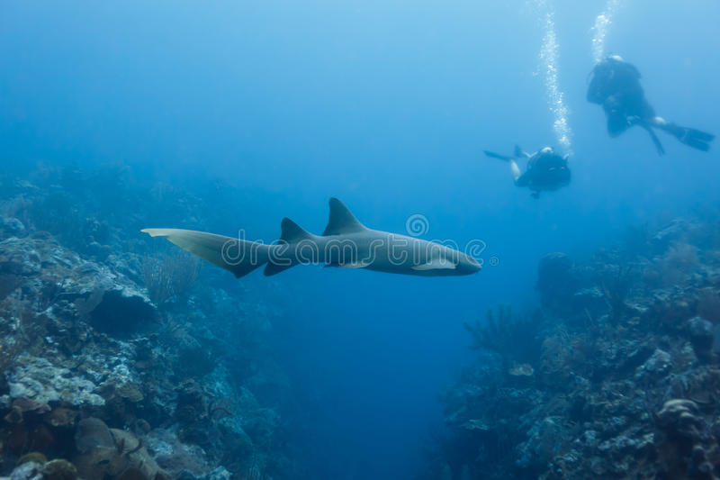 Zbliżenie pielęgniarka rekinu dopłynięcie nad rafa koralowa w rekin alei Belize z nurkami niedalekimi. zdjęcia stock