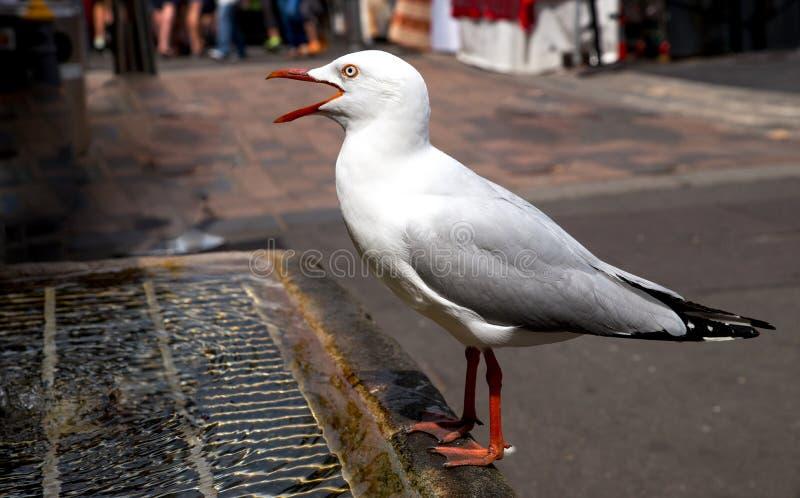 Zbliżenie pije od spowodowany przez człowieka wodnej fontanny spragniony seagull fotografia stock