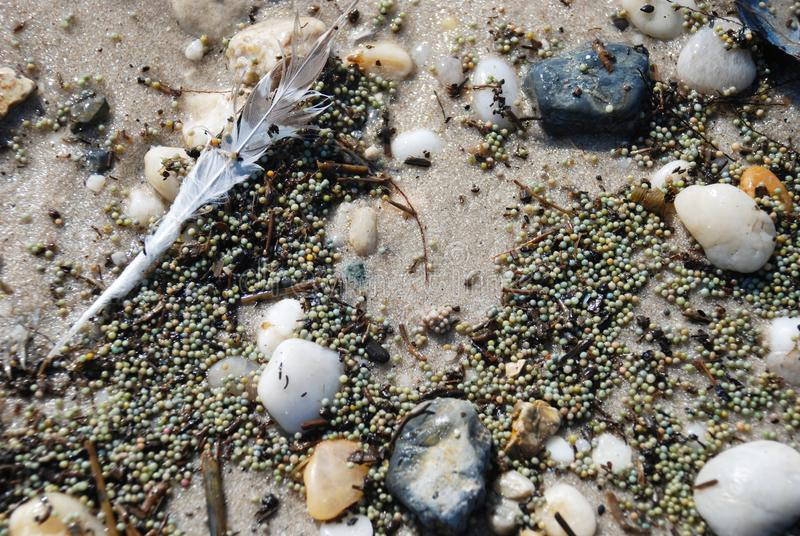 Zbliżenie podkowa kraba jajka na plaży wzdłuż pływowych wod wzdłuż Delaware zatoki fotografia stock