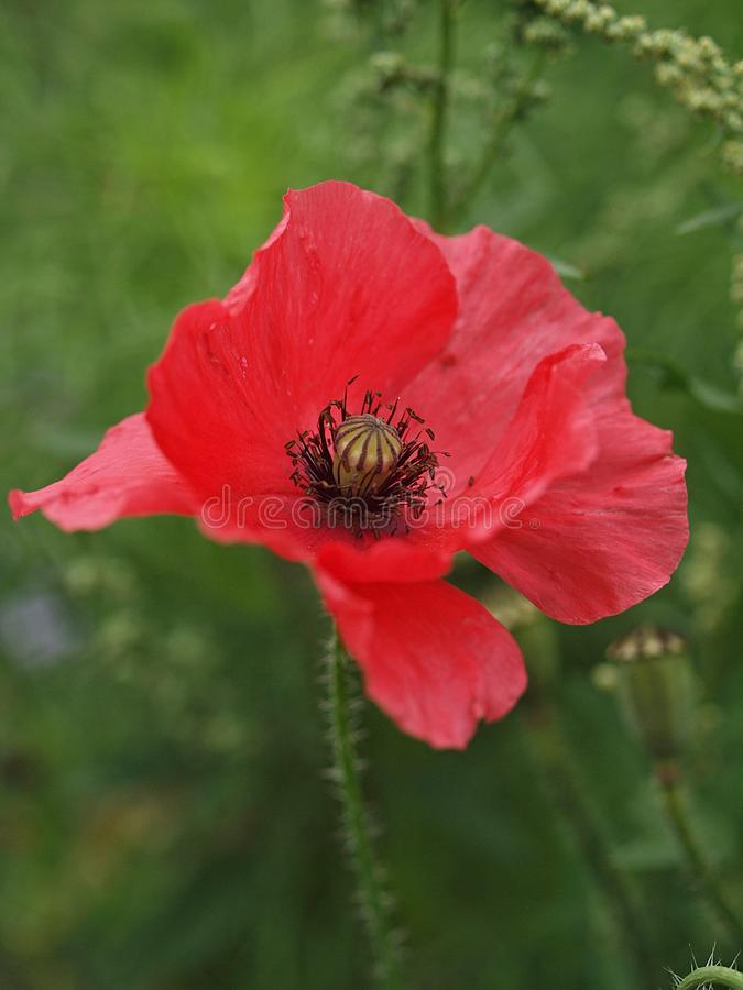Zbliżenie pojedynczy kwitnący makowy kwiat fotografia royalty free