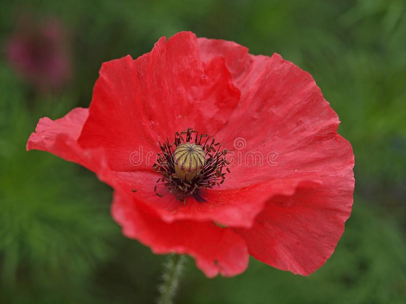 Zbliżenie pojedynczy kwitnący makowy kwiat zdjęcia royalty free