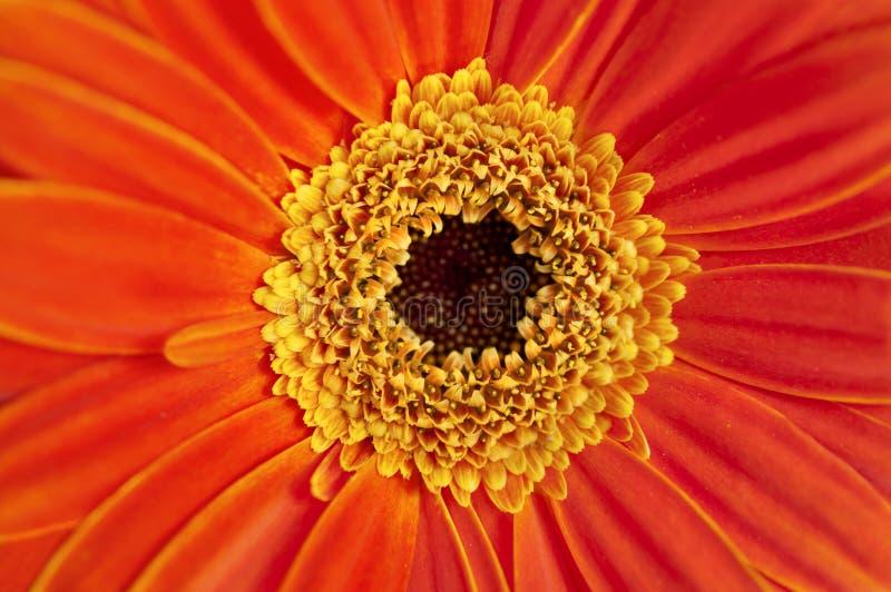 Zbliżenie pomarańczowa Gerber stokrotka w makro- widoku obraz stock