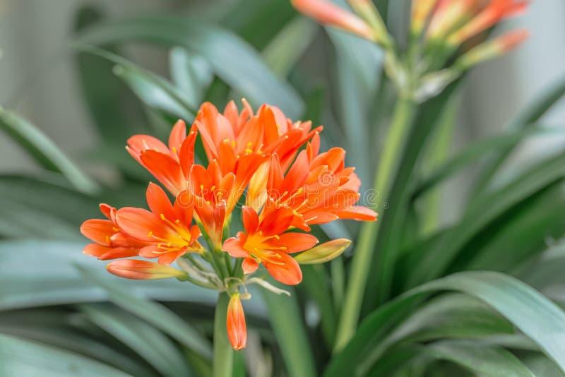 Pomarańczowa kwiatonośna Clivia roślina fotografia stock