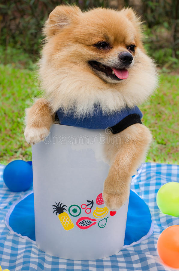 Zbliżenie Pomorski pies w koszu na trawie obraz royalty free