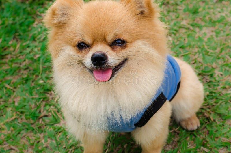 Zbliżenie Pomorski psi obsiadanie na trawie zdjęcia royalty free