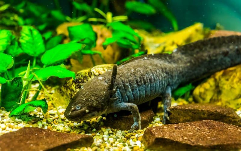 Zbliżenie popielaty aksolotl, chodzi ryby od Meksyk, popularnego i krytycznie zagrażającego wodnego jaszczura specie, fotografia stock