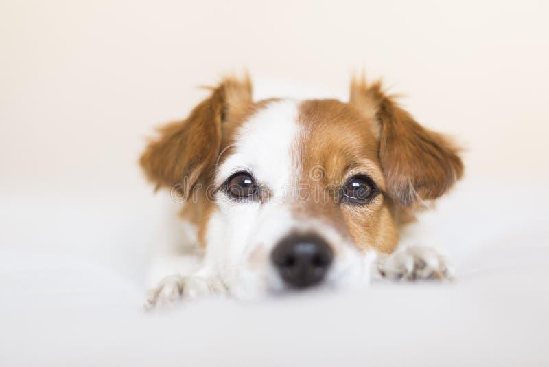 zbliżenie portret śliczny mały psi obsiadanie na łóżkowym i patrzeć ciekawy kamera Zwierzęta domowe indoors obraz stock