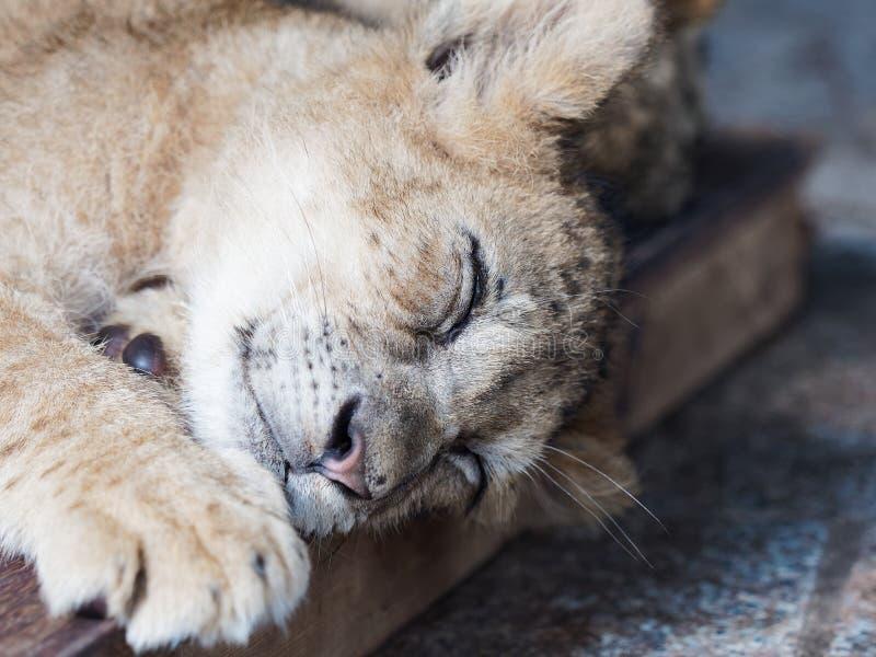 Zbliżenie portret śliczny sleppy lwa lisiątko obraz stock