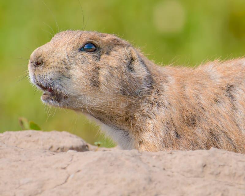 Zbliżenie portret bardzo śliczny, owłosiony i ekspresyjny preryjny pies w badlands parku narodowym, zdjęcie stock