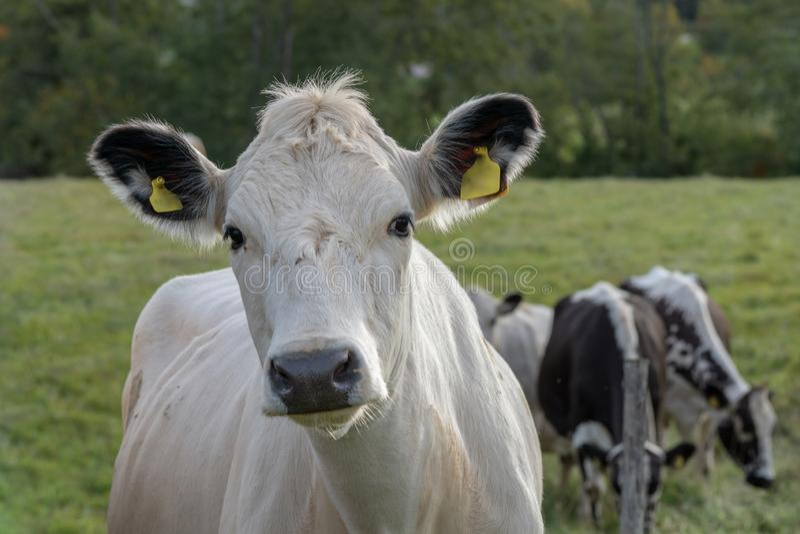 Zbliżenie portret biała i czarna krowa patrzeje ciekawie przy fotografem obraz stock