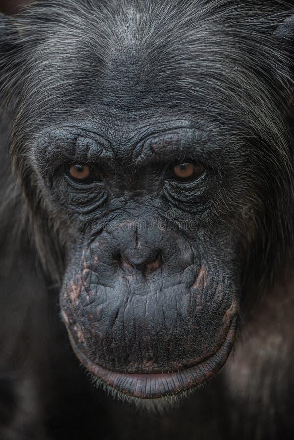 Zbliżenie portret ciekawy zastanawiający się żeński dorosły szympans zdjęcia royalty free