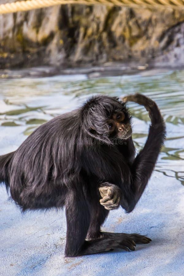 Zbliżenie portret czarna głowiasta pająk małpa drapa swój głowę, krytycznie zagrażający prymas od Ameryka obrazy royalty free