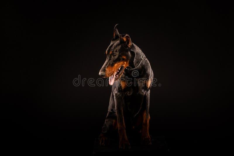 Zbliżenie portret Doberman Pinscher pies Patrzeje w kamerze na Czarnym tle fotografia stock