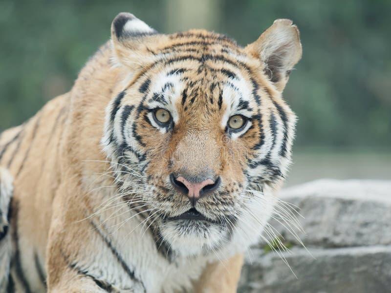 Zbliżenie portret dziki Bengal tygrys obraz royalty free