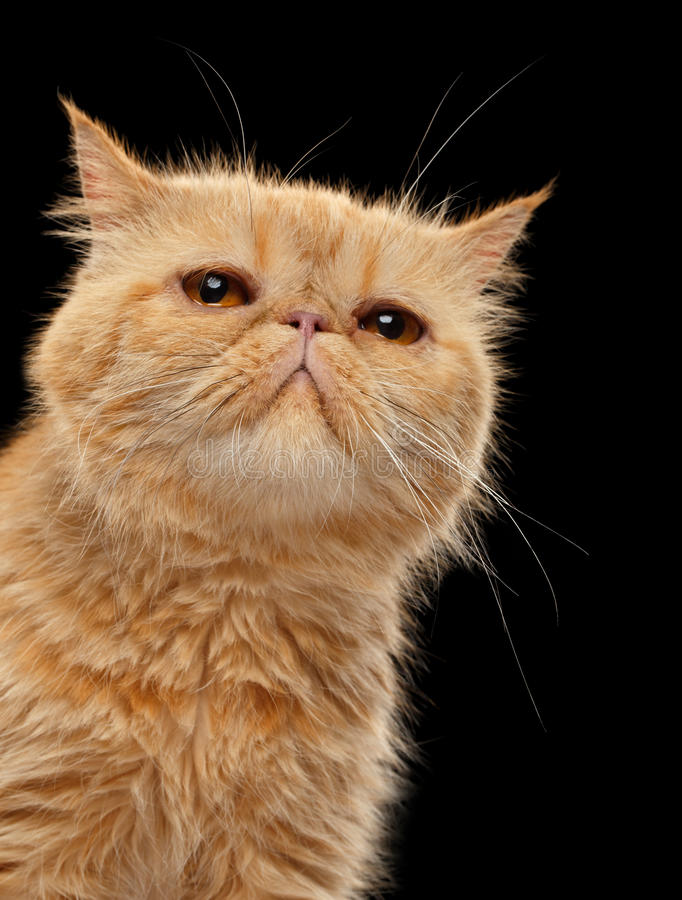 Zbliżenie portret Egzotyczny imbirowy shorthair kot na czerni fotografia stock